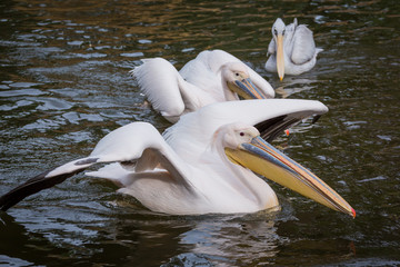 Swimming pelicans