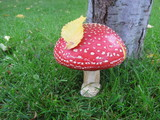 Fly agaric (Amanita muscaria) mushroom on the fresh green lawn