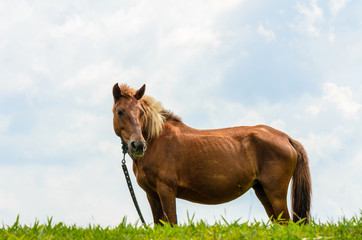 Brown horse on pasture.