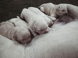 labrador puppies suckling