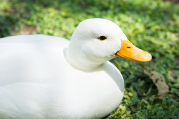 White duck on green lawn
