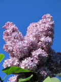 Common lilac (Syringa vulgaris) flowers against a blue sky