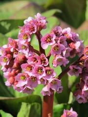 Cultivar badan (Bergenia crassifolia) flowers in the garden