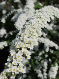 "Spiraea x cinerea ""Grefsheim"" flowers in the spring garden"