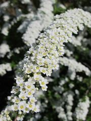 "Spiraea x cinerea ""Grefsheim"" flowers in the spring garden"