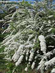 """Spiraea x cinerea """"Grefsheim"""" blooming in the spring garden"""