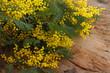 Mimose simbolo otto marzo giornata internazionale della donna