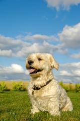 Happy Bichon Havanais dog