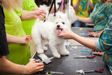 Maltese dog haircut at the beauty salon for animals