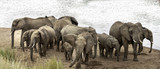 Herd of African Bush Elephants demonstrate defensive behavior