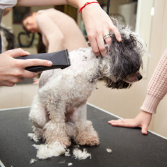 Dog poodle cut their hair in a beauty salon