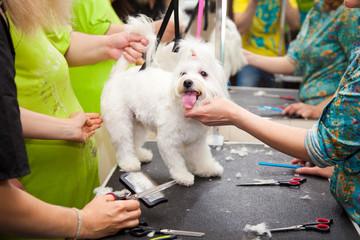 Maltese dog haircut at the beauty salon for animals