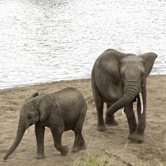 African Bush Elephants take a sand bath on the beach of Mara Riv