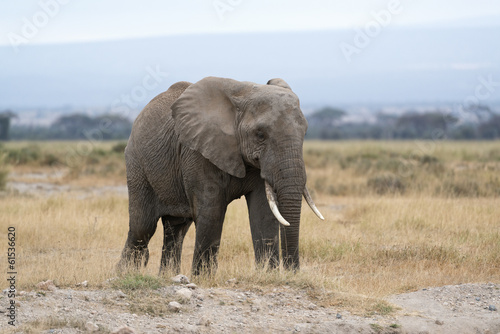 Adult African Bush Elephant, female