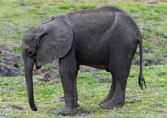 Elefantenkalb im Chobe-Park, Botswana