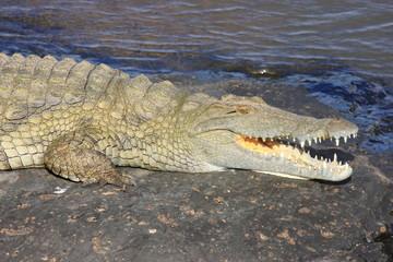 cococcodrillo rettile predatore fiume savana sudafrica