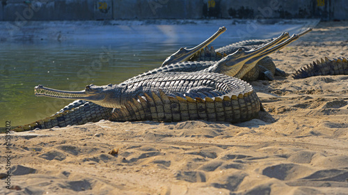 Ganges-Gaviale (Gavialis gangeticus) ,Chitwan / Nepal - 61539202