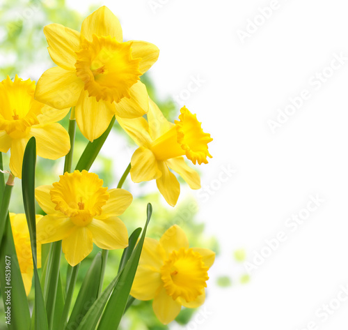 canvas print picture Daffodil flowers