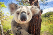 canvas print picture - Koala