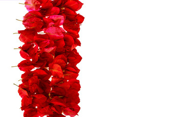 pink bougainvillea petals isolated on white background