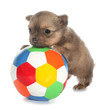Long-haired chihuahua puppy small dog is pushing ball