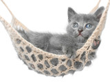 Cute gray kitten lying in hammock.