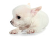 White chihuahua puppy small dog