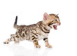 Bengal kitten meowing. isolated on white background