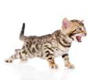 Bengal kitten meowing. isolated on white background poster