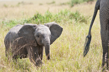 african baby elephant in the savannah following its mother