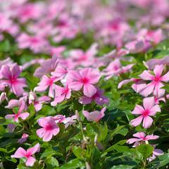 Vinca pink flower
