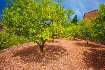 Lemon tree in garden - Mallorca, Spain