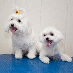 Maltese dog - puppy and adult.