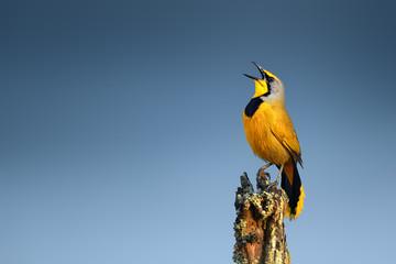 Bokmakierie bird calling