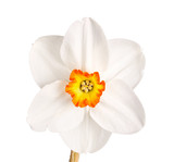Single flower of a tricolor daffodil cultivar against a white ba poster