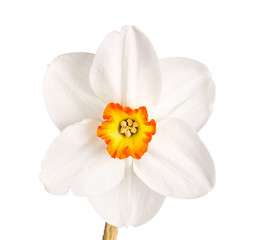 Single flower of a tricolor daffodil cultivar against a white ba