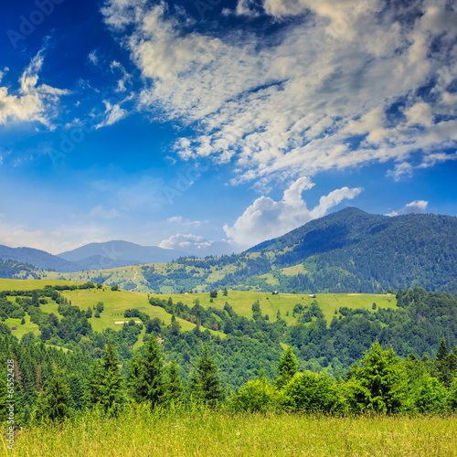 pine trees near valley in mountains  on hillside summer day