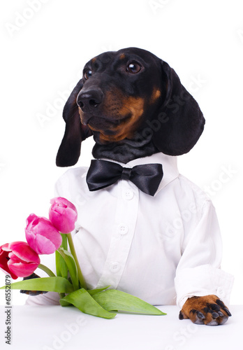 dachshund with tulips