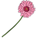 Vector Cartoon Isolated Illustration - Pink Gerberas