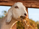 White goat eating hay