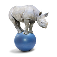 African White Rhinoceros balancing on a blue ball.