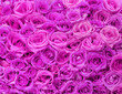 Fuchsia Roses. Background