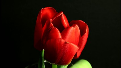 Tulip blooming time lapse