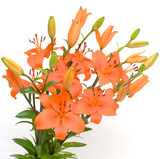 orange lily isolated on white background