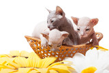 Don sphynx kittens in the basket