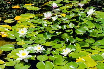 Pond with Lilly Pad