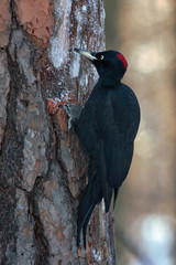 Black Woodpecker sitting on the tree (Dryocopus martius, male)