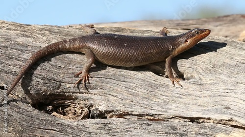 A Kalahari tree skink basking in the sun, Kalahari desert