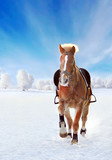 Brown horse galloping through the snowy winter field