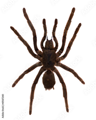 Tarantula Spider. Isolated over white